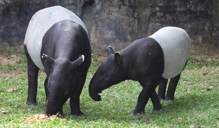 Black, white and unique: the Malayan tapir struggles for recognition