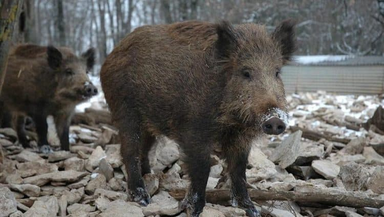 Wild boar 'carnage' in eastern France was 'intolerable' – hunting president