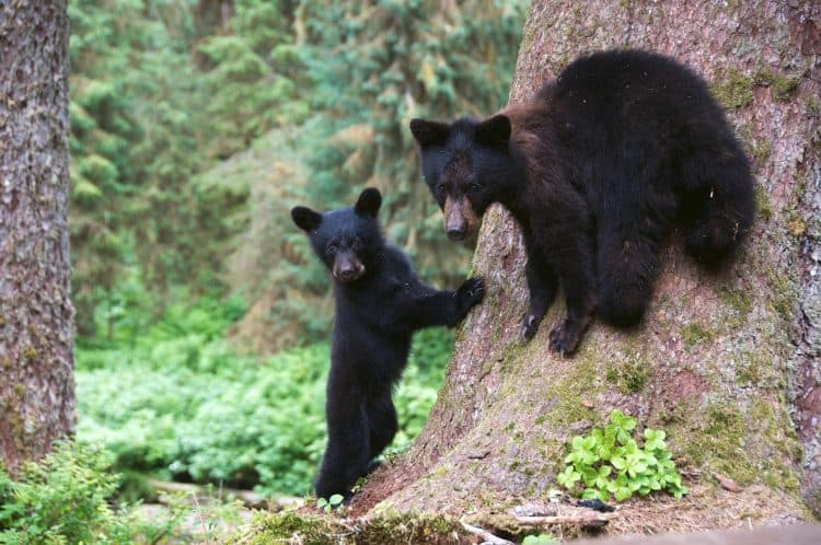Trump administration ends ban on killing Alaska bear cubs, wolf pups