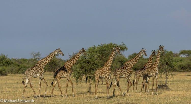 Serengeti's spring rhythms