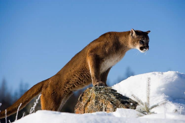 South Dakota will allow trophy hunters to kill 30 percent of its mountain lions