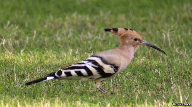 Hoopoe 'thinks Innerleithen is the south of France'