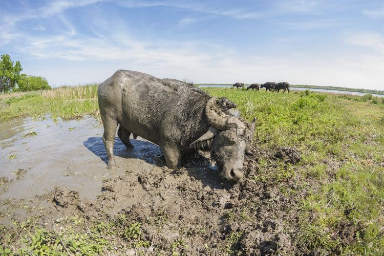 Why is Europe rewilding with water buffalo?