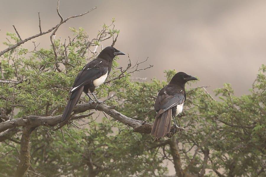 Rare and unusual birds seen in Saudi Arabia in second half of 2016