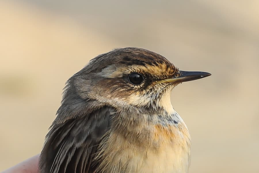 First returning Bluethroats – Jubail