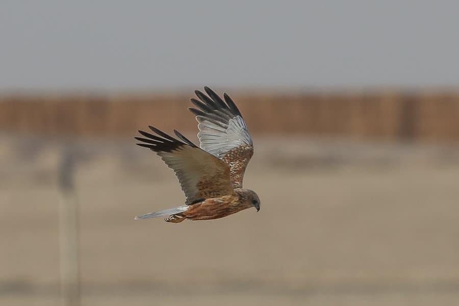 Birding the pivot fields – Haradh