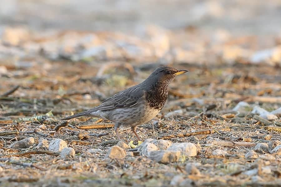 Four Black-throated Thrushes in Deffi Park – Jubail
