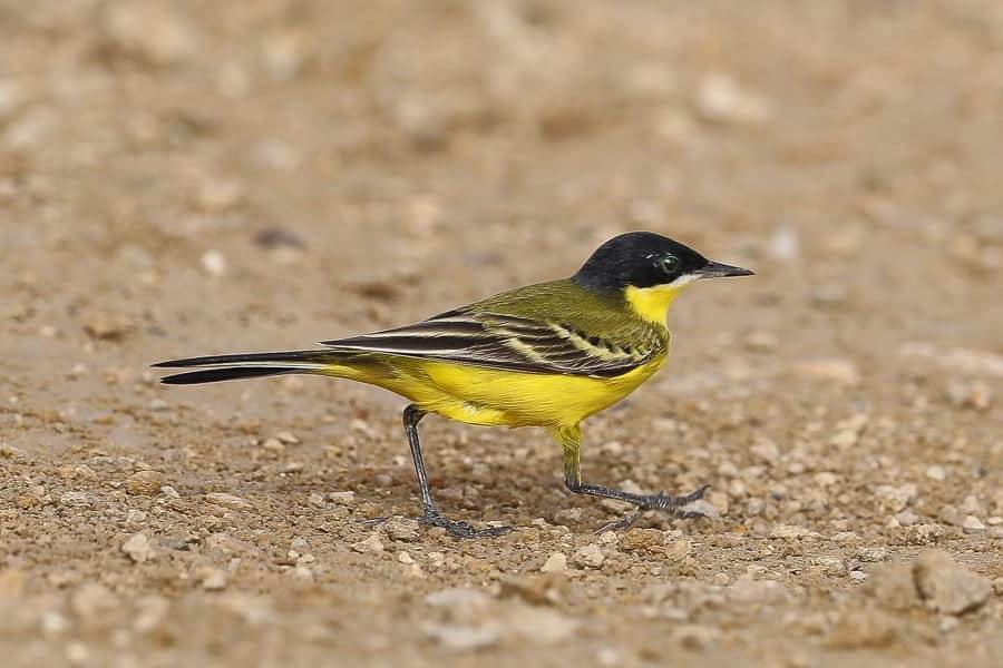 Eastern Black-headed Yellow Wagtail – Jubail