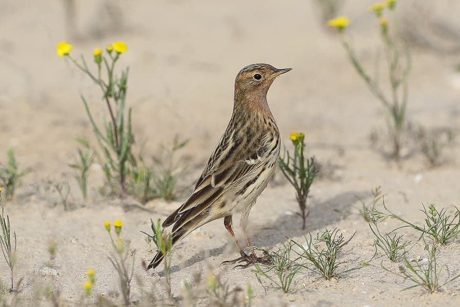 Red-throated and Tree Pipits – Jubail