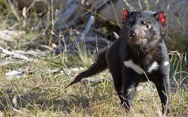 Video: Cancer-free Tasmanian Devils returned to homeland