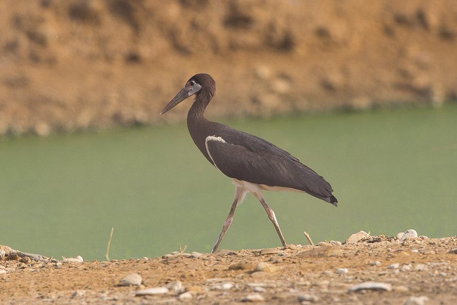Rare and unusual birds seen in Saudi Arabia in second half of 2015