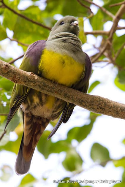 The lovely Bruce's Green Pigeon