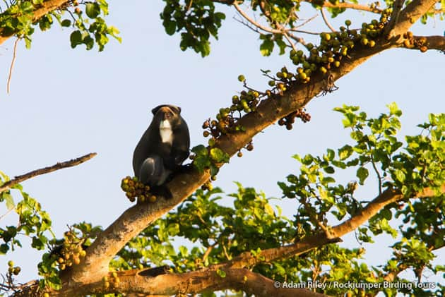 A long bearded D'Brazza's Monkey was gorging on figs along the Mago River