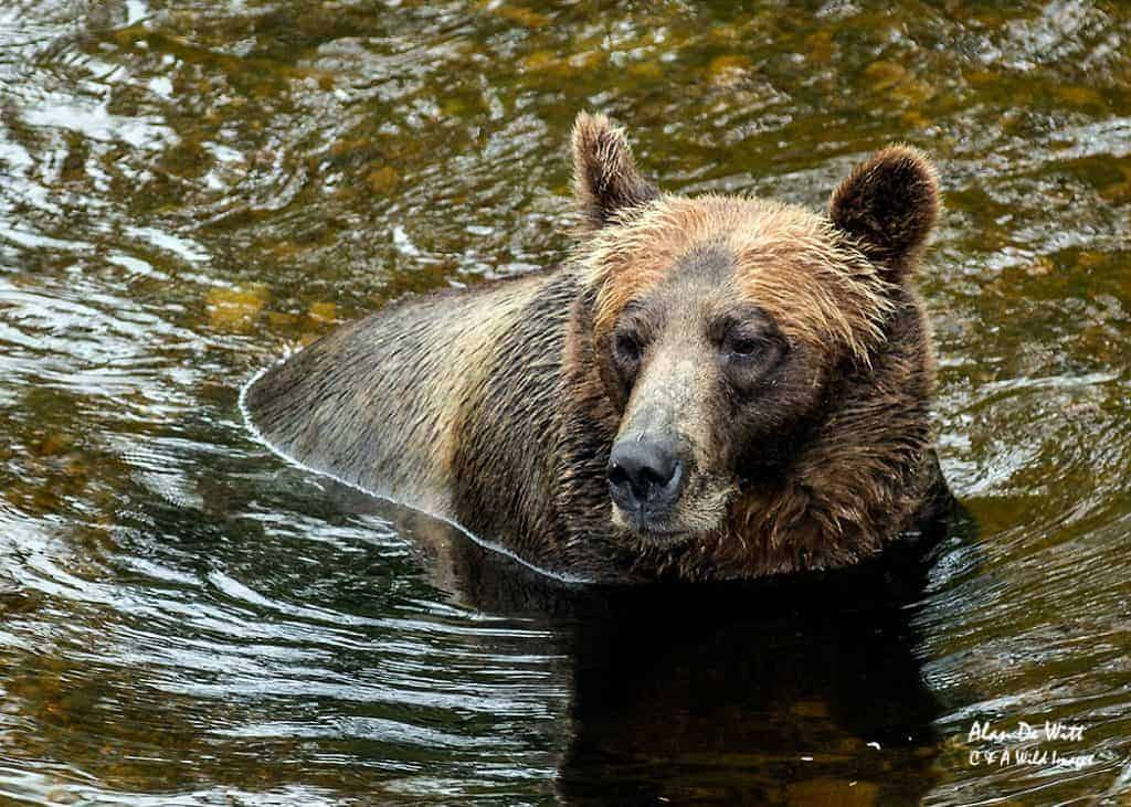 One of the best places to see Grizzlies in B.C.