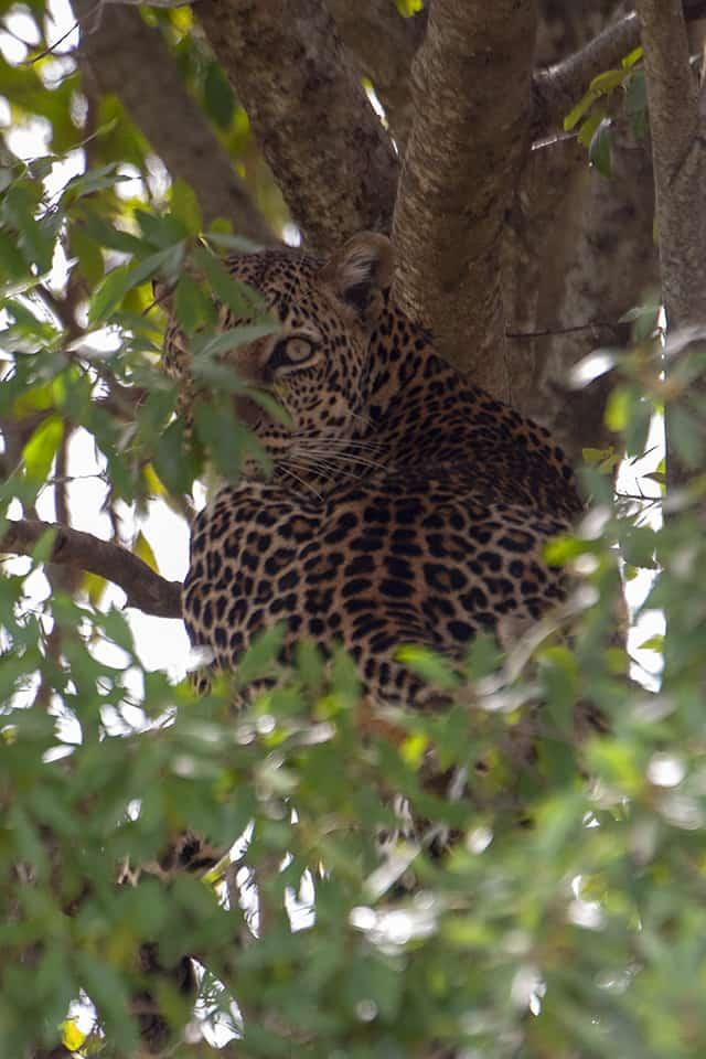 Boldest Leopardess in Maasai Mara