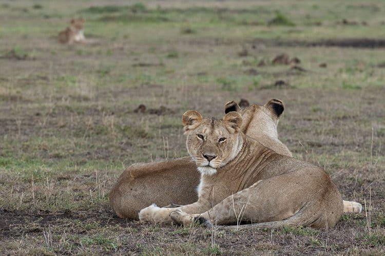 Bonding with a Lioness trio in Maasai Mara