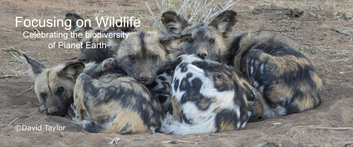 African Wild Dogs Cold Early Morning Huddle by David Taylor
