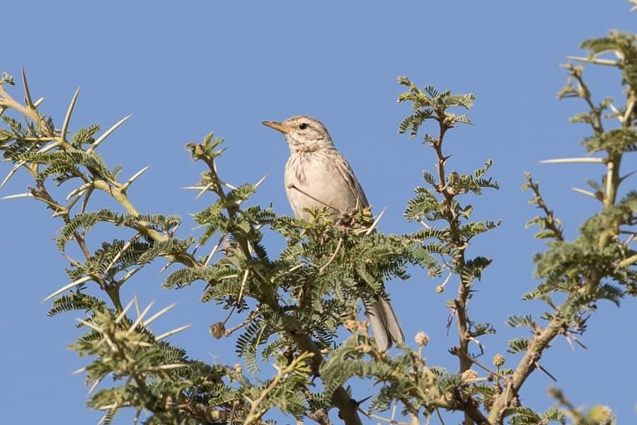 Birding An Namas