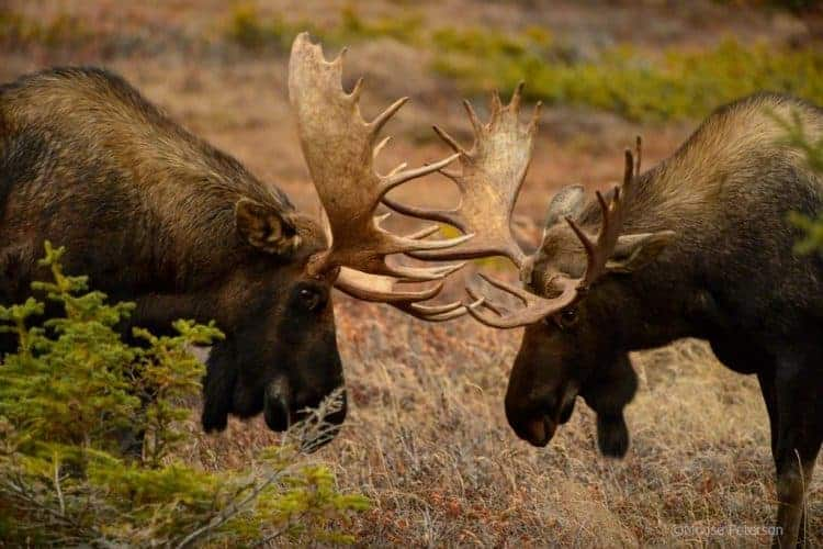 Poll Should Moose Be Added To The Endangered Species List