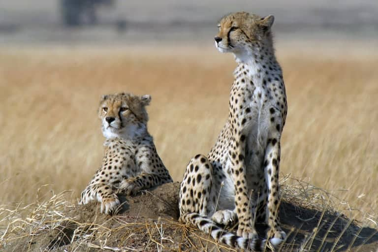 Cheetah populations crash as fastest-animal disappears from 91% of its range