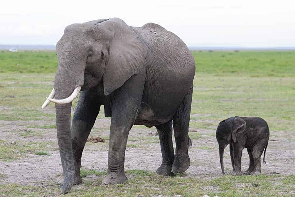 New born Elephant calf in Amboseli National Park