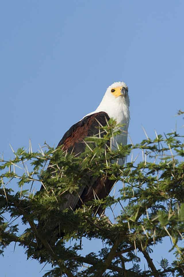 Amboseli White bellied Fish Eagle 1