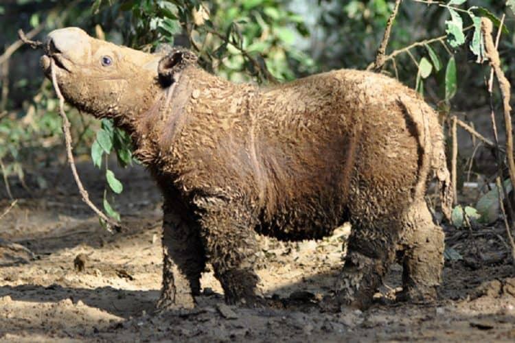 15 Bornean rhinos discovered in Kalimantan?