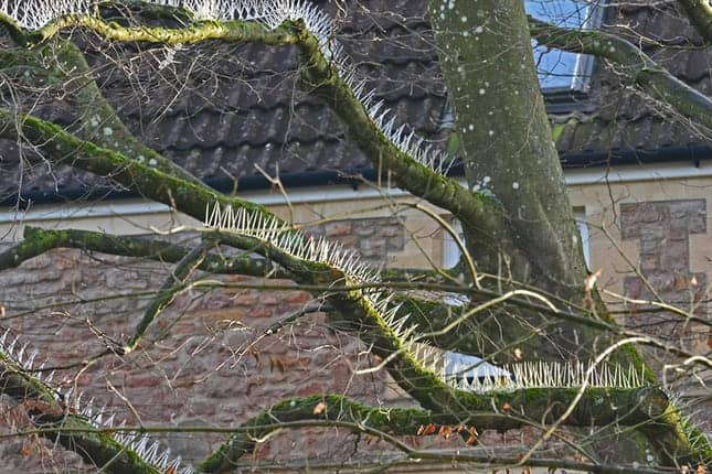 Anti-bird tree spikes: we love cars so much, we destroy nature for them