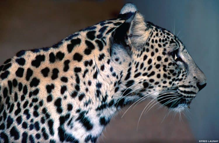 A lifeline for the last leopards (commentary)