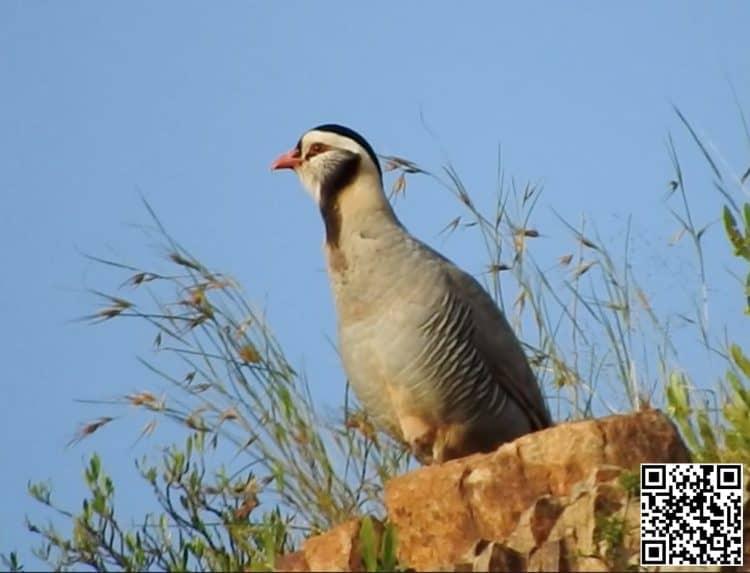 Arabian Partridge Alectoris melanocephala
