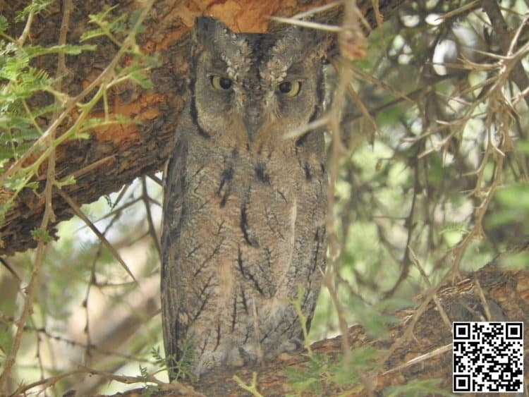 Arabian Scops-Owl Otus pamelae