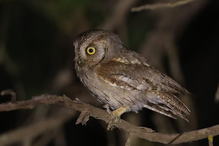 Arabian Scops Owl at Al Mehfar Park – Tanoumah
