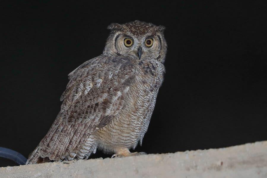 Arabian Spotted Eagle-Owl – Tanoumah
