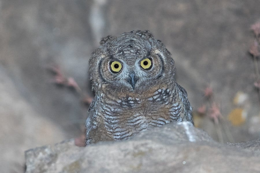 Arbabian Spotted Eagle Owl young – Tanoumah