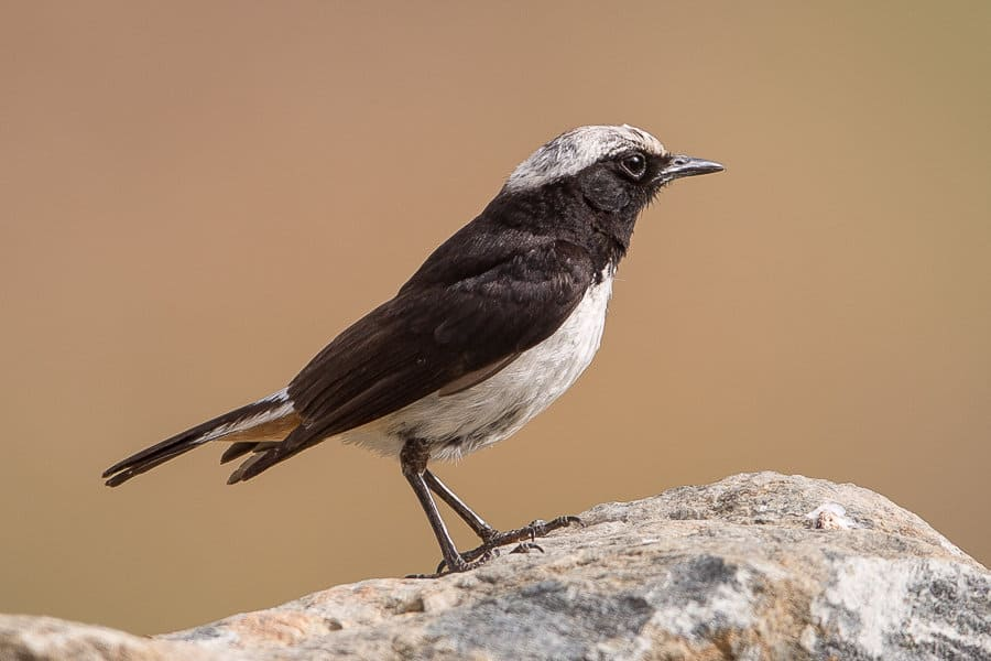 Arabian Wheatear – Abha area
