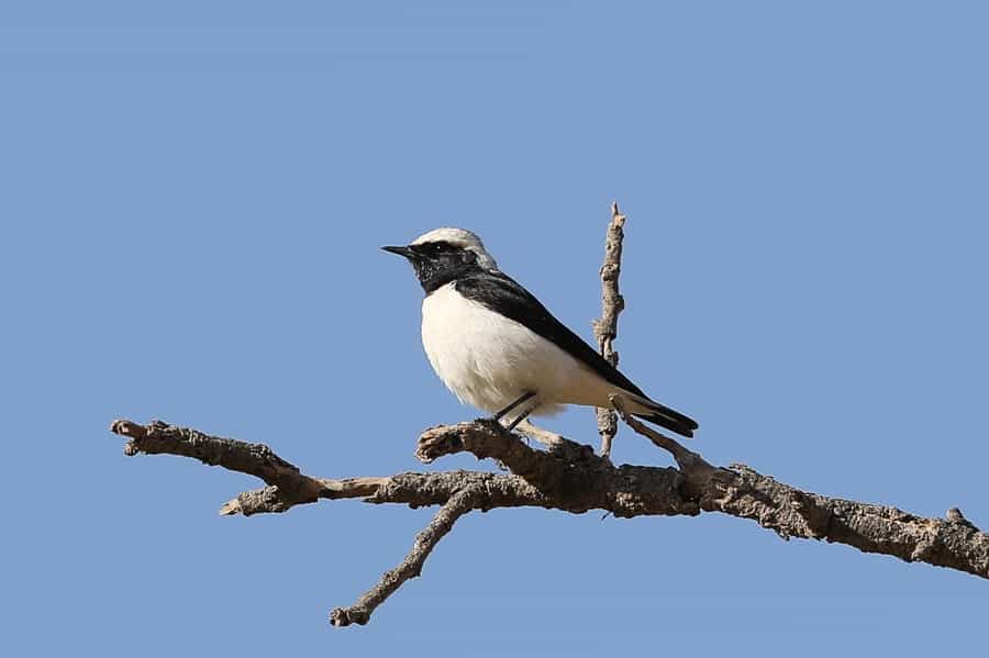 Plenty of Arabian Wheatears – Tanoumah