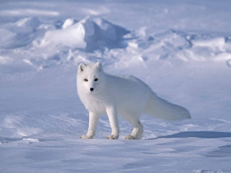 Video: How to Survive as a Tiny Arctic Fox in Wild Alaska