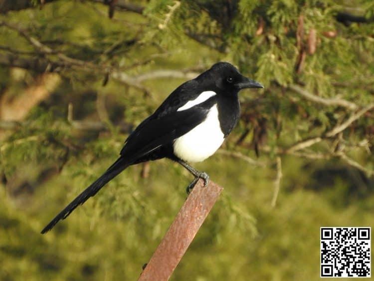 Asir Magpie Pica asirensis