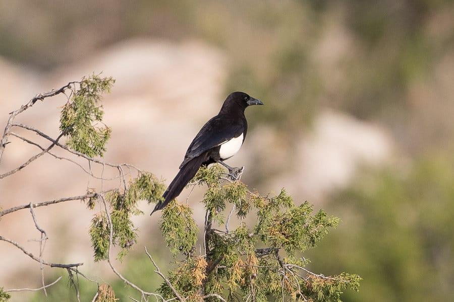 Asir (Arabian) Magpie – Tanoumah and An Namas