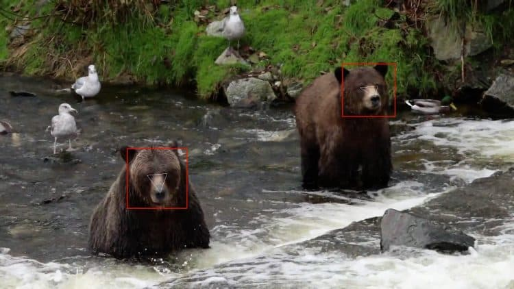 """BearID,"" as the program is called, captures a bear's face in a photo image, rotates, extracts and embeds it in order to classify the individual."