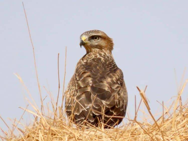 When we first encountered it, the Steppe Buzzard sat upon a stack of dried hay bales at the edge of a pivot field, looking something fierce!