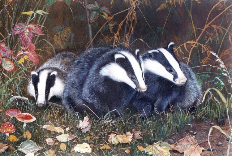 POLL: Should badgers be culled to control the spread of tuberculosis in cattle?
