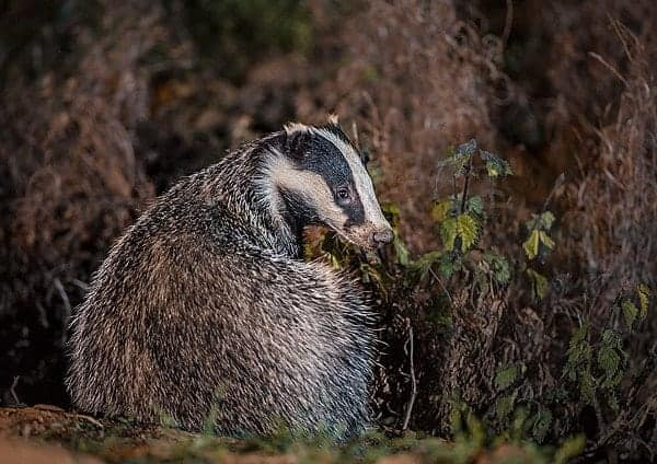 Help to stop the slaughter of badgers in the UK