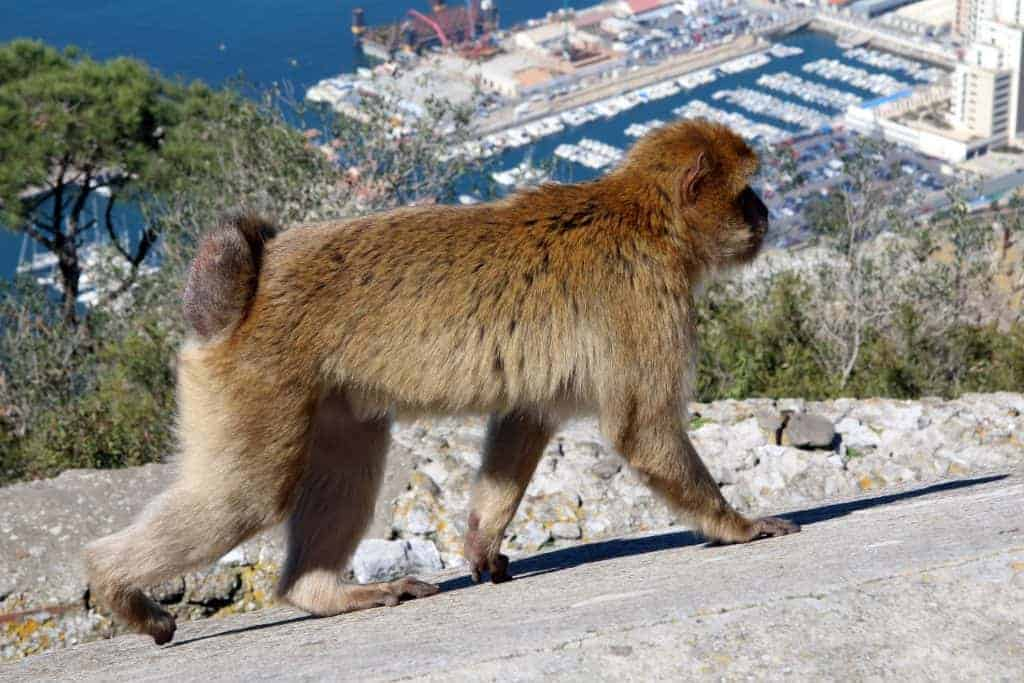 The fight to save Gibraltar's famous macaque monkey
