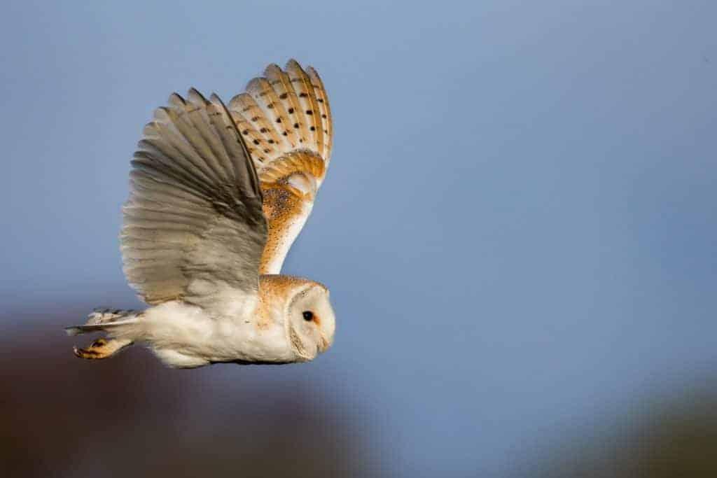 British Barn Owls still struggling to adapt to modern life