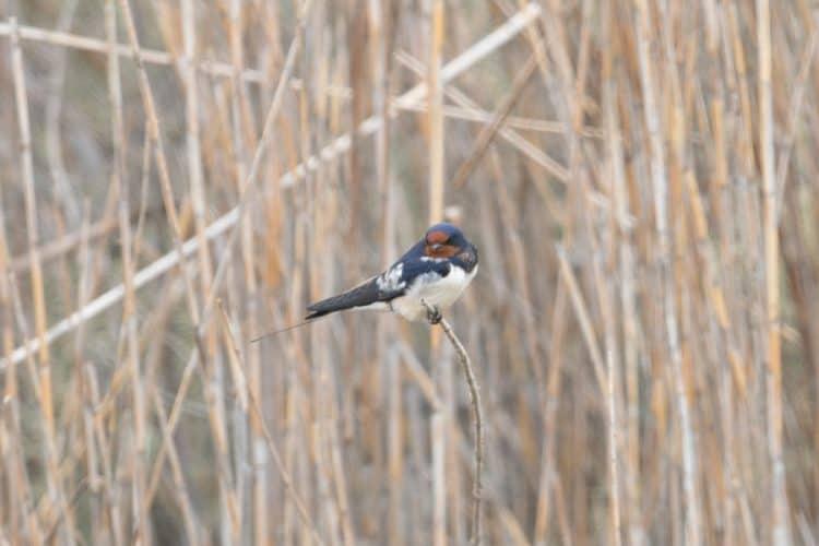 Slightly odd Barn Swallow – Jubail