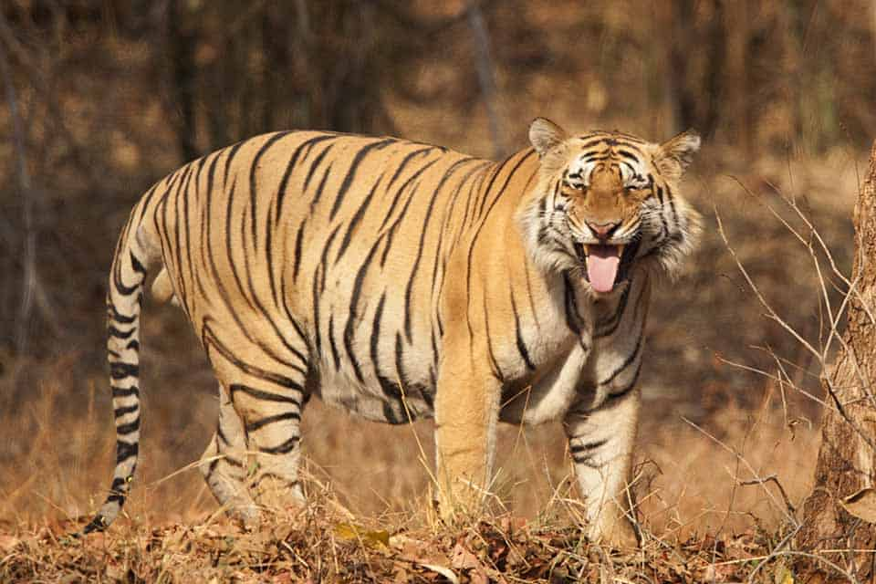 Scent of a Tiger in Tadoba