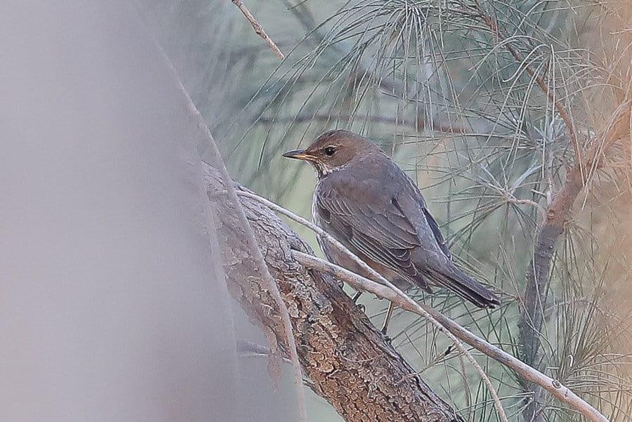 Rare and unusual birds seen in Saudi Arabia in first half of 2017