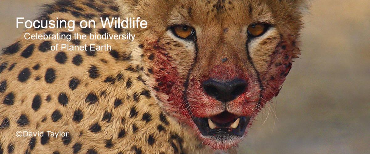 Blood Soaked Cheetah by David Taylor
