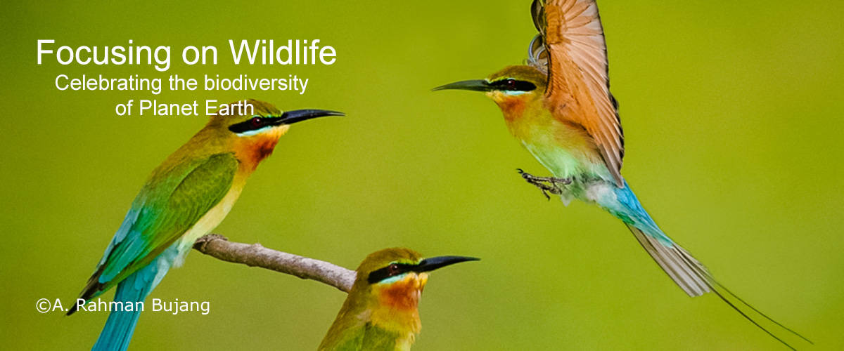 Blue Tailed Bee Eater by A. Ahman Bujang